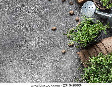 Seedlings Of Herbs - Basil, Rosemary, Thyme And Various Garden Tools On A Gray Background. Garden Co