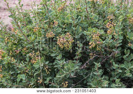 Detail Of Leaves, Branches And Fruits Of European Barberry, Berberis Vulgaris. Photo Taken In Salien