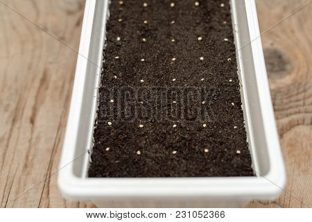 White Pot With Precisely Planted Seeds For Pepper Seedlings