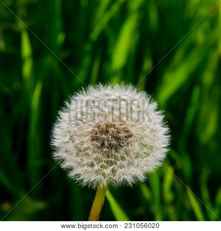Dandelion Flower On A Blurred Green Background. Spring Flowering.