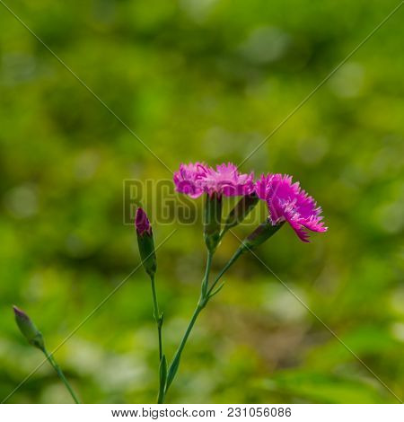 Carnation Flowers On A Green Grass Background. Summer Season.