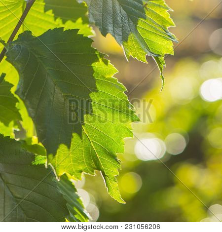Green Foliage Of A Tree On A Blurred Background. October, Autumn Season.