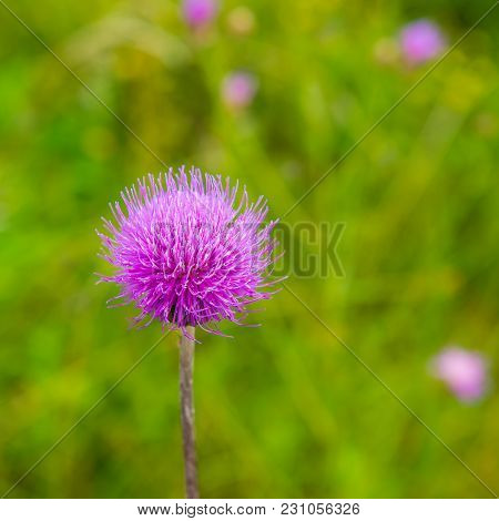 Flower Thistle On A Green Meadow Background. Summer Season.