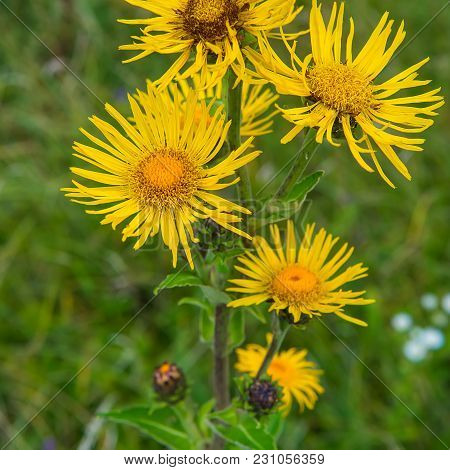 Yellow Flowers Of Elecampane On A Green Background Of Grass. Summer Season.