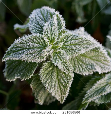 Green Foliage Of Nettle Covered With Hoarfrost. Autumn Season, November.