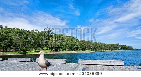Seagull In Landscape With Blue Sky And A Tree Studded Horizon Over Water. Photographed At Lake Macqu