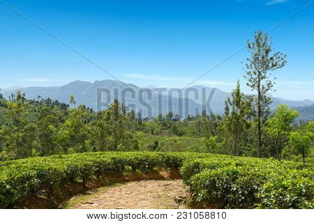 Tea plantation in mountains and blue sky. Copy space
