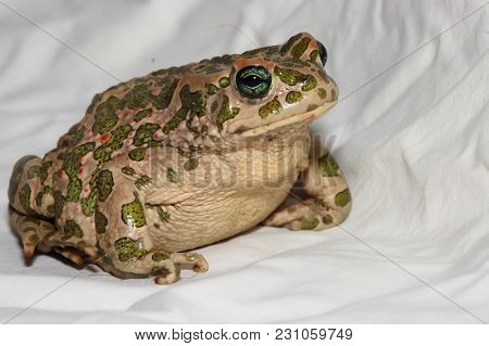 Big Ugly Frog Common European Toad Bufo