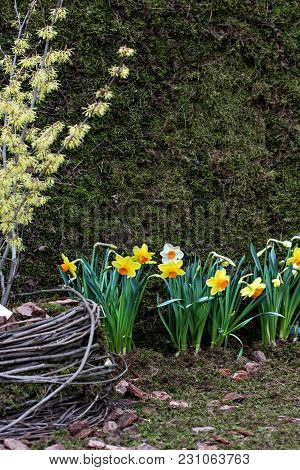 Garden Composition With Narcissuses. Spring Flowers. Garden Decoration, Landscape Design.