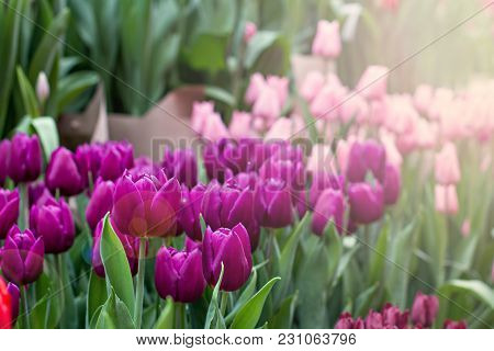Many Tulips. Spring Flowers. A Flower Bed With Tulips