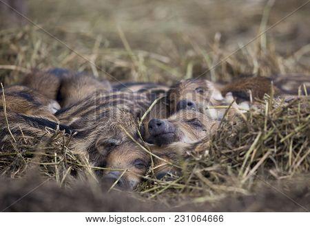 New Born Wild Boar Piglets Sleeping On Straw