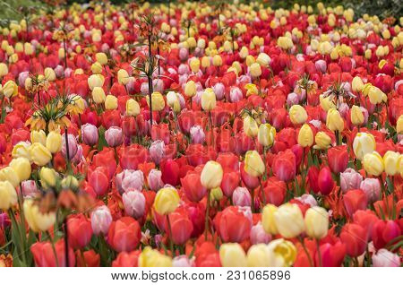 Fritillaria Imperialis And Colorful Tulips Flowers Blooming In A Garden