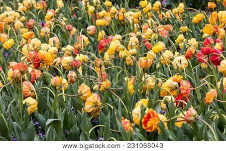 Orange And Yellow Tulips Flowers Blooming In A Garden