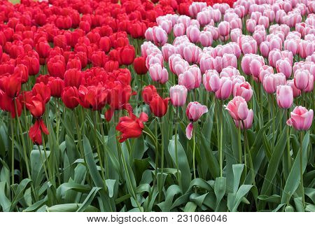 Red And Pink Tulips Flowers Blooming In A Garden