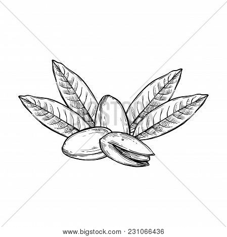 Pistachio Vector Isolated On White Background. Engraved Vector Illustration Of Leaves And Nuts Of Pi