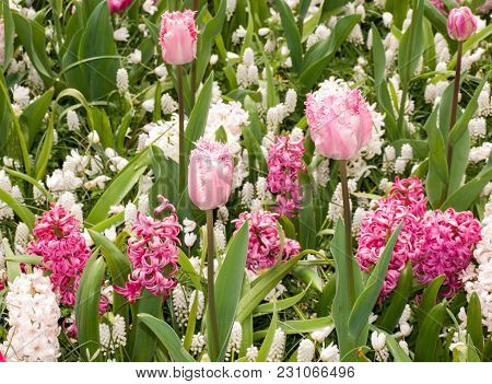 Colorful Tulips And Hyacinths Blooming In A Garden