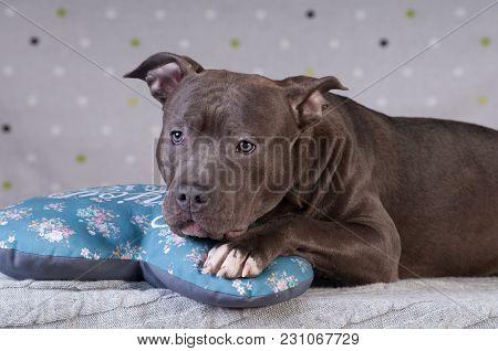 Staffordshire Terrier Potrait At Studio Having Rest On Comfortable Blue Pillow