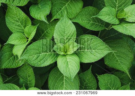 Green Leafs Of Hydrangea With Raindrops. View From Above. Nature Background. Foliage.