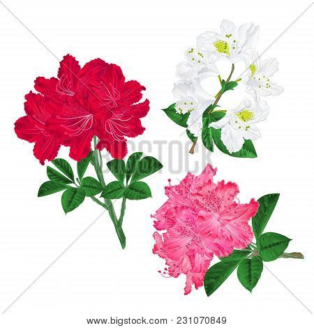 Branches Pink Red And White Flowers Rhododendron  Mountain Shrub On A White Background Set First Vin