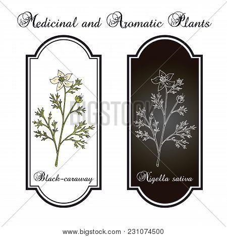 Black Caraway, Nigella Sativa, Medicinal Plant. Hand Drawn Botanical Vector Illustration