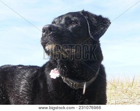 Short Coated British Labrador Retriever At The Beach Of Blavand / Ho Denmark