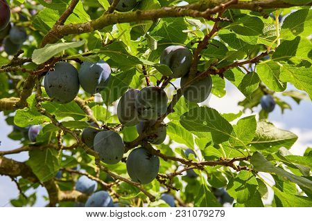 Plum Tree With Fresh Plum Fruits With Green Leaves On Branches On Sunlight.