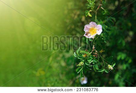 Pink Wild Rose On A Summer Day .bee On Pink Wild Rose In Summer Garden.