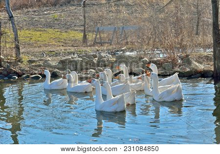 The Geese Swimming On Pond. Russian Far-east.