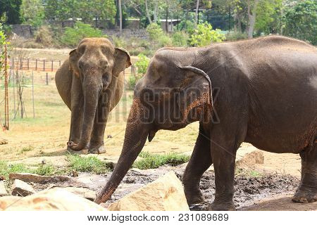 Two Elephants Elephas Maximus In Pinnawala Orphanage Sri Lanka