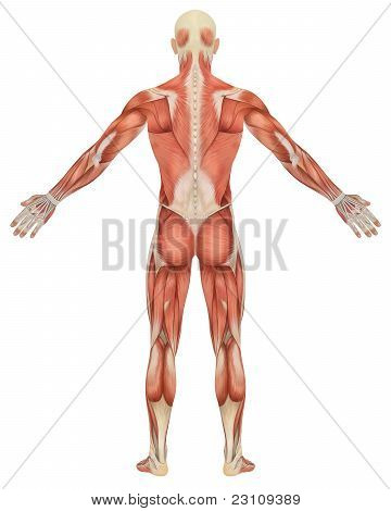 A illustration of the rear view of the male muscular anatomy. Very educational and detailed. poster
