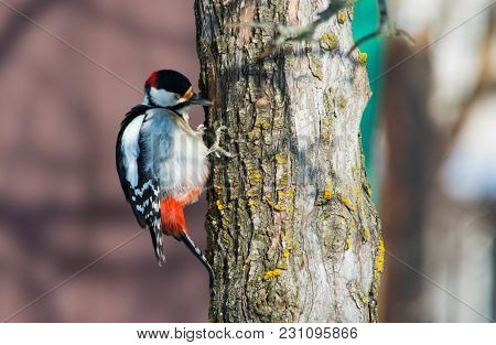 Major Woodpecker On The Tree Trunk Looking For Some Insects