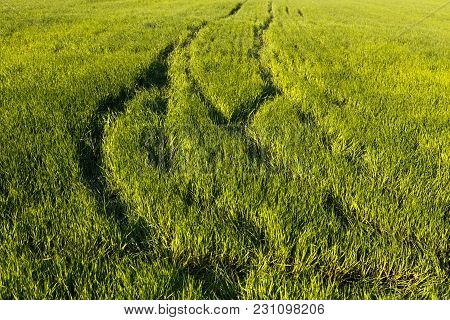 Green Wheat Field On Spring With Tracks