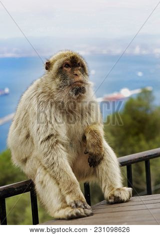 Large Barbary Macaque (macaca Sylvanus) Sitting On A Railing On The Rock Of Gibraltar With A Hazy Se