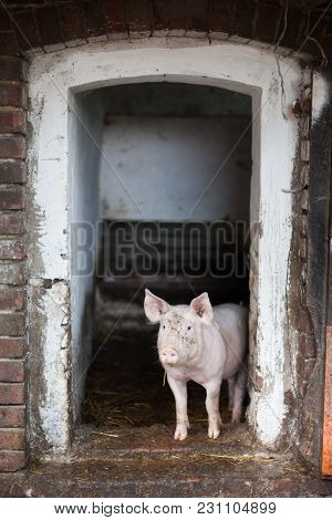 Happy Pig Coming Out Of The Pigsty. Ecological Breeding, Humanitarianism