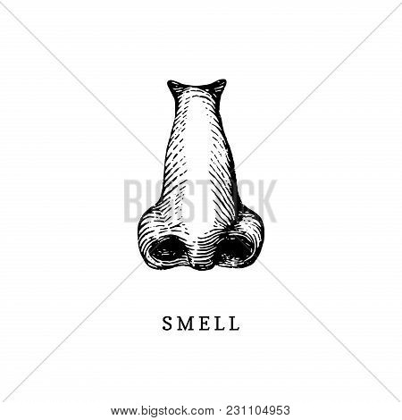 Hand Drawn Icon Of Human Sense Of Smelling In Engraved Style. Vector Illustration Of Nose.