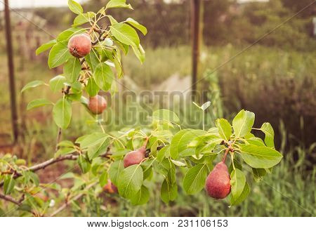 Ripe Pears In The Garden On A Pear Tree.