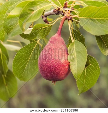 Ripe Pear In The Garden On A Pear Tree.