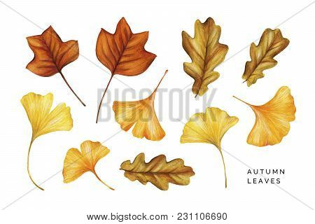Watercolor Set Of Autumn Leaves. Tulip Tree, Oak And Ginkgo Leaves. Hand Painted Watercolor Illustra