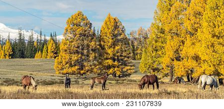 Panoramic Landscape Of Altai Mountains With The Herd Of Horses , In Aurumn, Siberia, Russia.