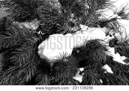 Snow On Pine Twigs In Black And White. Seasonal Background.