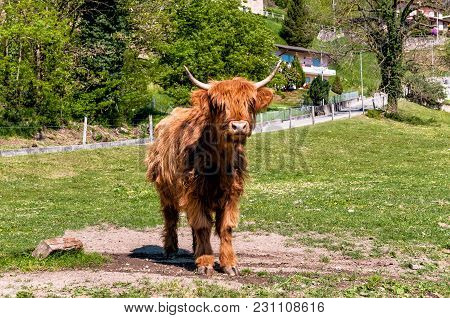 Red Scottish Highland Cow On The Lawn.
