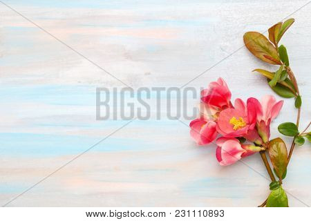 The branch of blooming Chaenomeles on old shabby wooden background and copy space for text.  Selective focus.  Focus on flower.