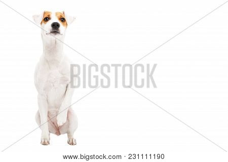 Curious Young Dog Jack Russell Terrier, Sitting Isolated On White Background