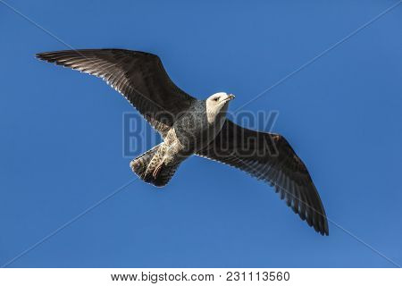 Seagull With Spread Wings In Flight With A Blue Sky Background