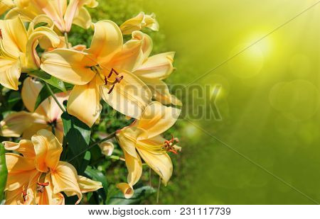 Macro Shot Of A Yellow Oriental Lily Bloom. Yellow Oriental Lily Bloom In Summer Garden.