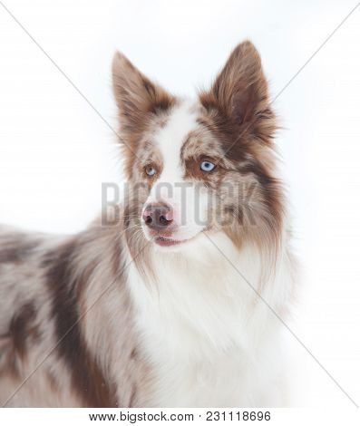 Merle Border Collie Over A Snowy White Background