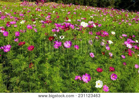 Field Cosmos Flower Idyllic With Green Background At Loei Province, Thailand