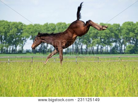 The Young Foal Kicks On A Pasture Playing