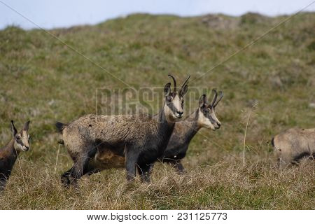 Four Brown Chamois In The Austrian Alps