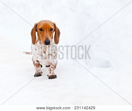 Dachshund Dog Peebles Color Winter Season Day